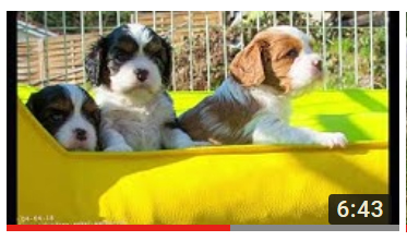 Videos auf Youtube Cavalier King Charles Spaniel Zuechter in Bayern. Video auf Youtube - Kuschelcavalier Welpen Tierarzthaushalt in blenheim und tricolor. Marion Schanne 92421 Schwandorf