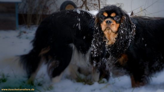 Winter in Bayern Cavalier King Charles Spaniel Zuechter in Bayern. Video auf Youtube - Kuschelcavalier Welpen Tierarzthaushalt in blenheim und tricolor. Marion Schanne 92421 Schwandorf
