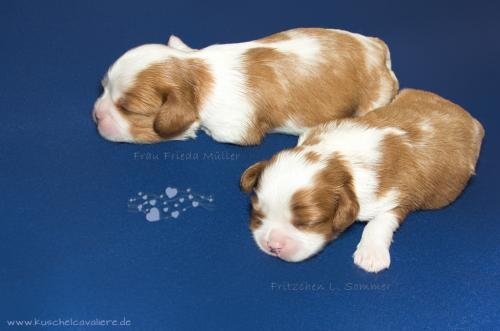 cavalier-king-charles-spaniel-welpen-in-bayern-1707f