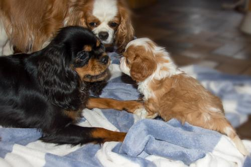 cavalier-king-charles-spaniel-zuechter-in-bayern-1408a