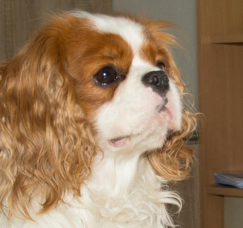 cavalier-king-charles-spaniel-zuechter-in-bayern-1408o